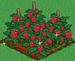 Raspberry extra100
