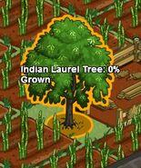 Indianlaureltree
