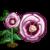 Desert Rose-icon