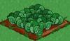 Cabbage 66