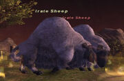Irate sheep