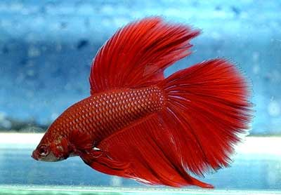 File:Betta Fish.jpg