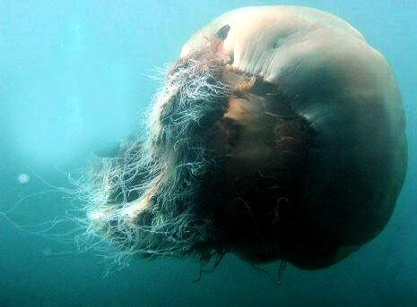 File:Giant jellyfish.jpg