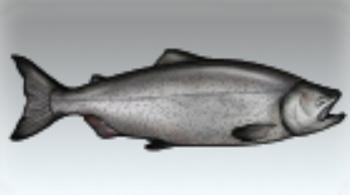 File:Chinook Salmon.jpg