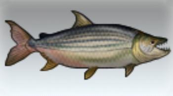 File:Goliath Tiger Fish.jpg