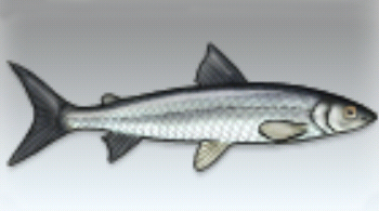 File:Whitefish.jpg