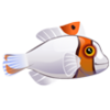 Bicolor Parrotfish (1)