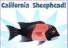 California Sheephead (2)