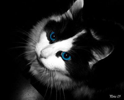 Blue eye cat by pirata1987-d34lqsq