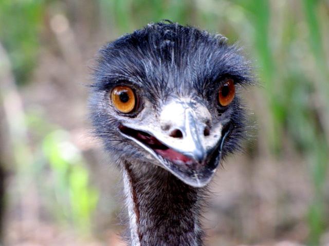 File:Pic-12-Loreto-Wacky-Emu.jpg