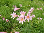 Lilium rubellum mk4