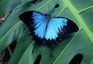 Ulysses Swallowtail