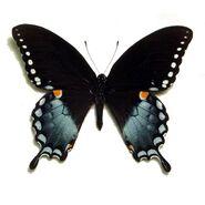 11 Spicebush Swallowtail