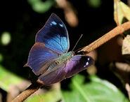 52 Acidalia Leafwing