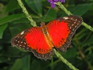 Eastern Red Lacewing