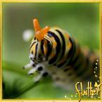 Flutterfact20130717HoggishCaterpillar