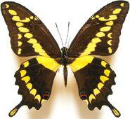 27 Kingpage Swallowtail