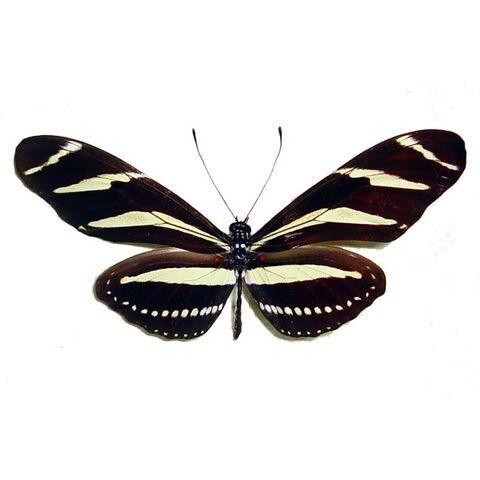 File:13 Zebra Longwing.jpg