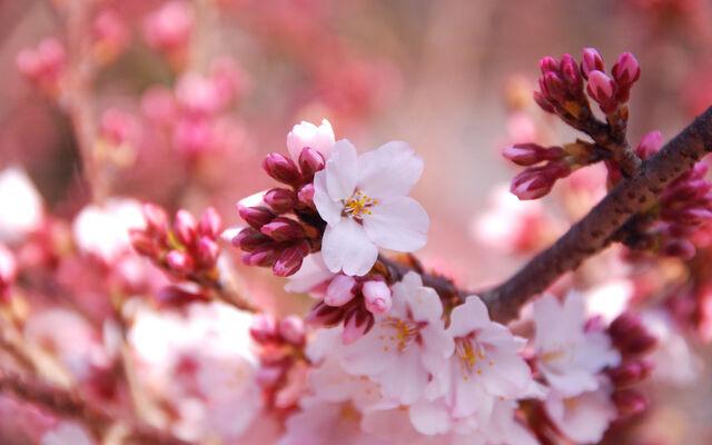 File:Cherry-blossom1.jpg
