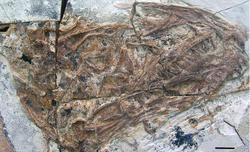 Tianyuraptor skull