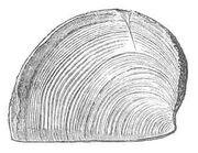 Trigonellites latus