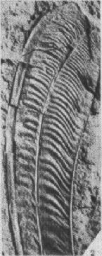 Longisquama feather closeup