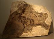 YixianornisGrabaui-PaleozoologicalMuseumOfChina-May23-08