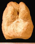 CamelFootprintBarstowMiocene