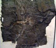 Jinfengopteryx elegans 2