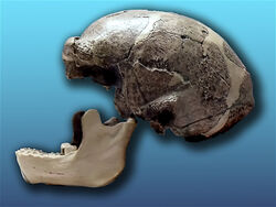 Sinathropus pekinensis