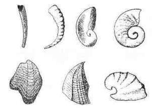 Small shelly fauna repr.1
