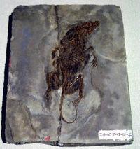 Zhangheotherium quinquecuspidens
