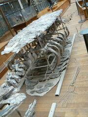 Sarcosuchus imperator body