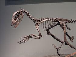 Deinonychus skeleton FMNH