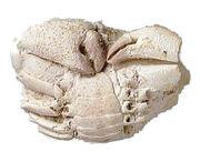 Paleocarpilius - Crab (2)