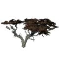 Monterey Cypress.png
