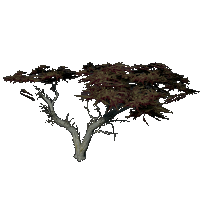 File:Monterey Cypress.png