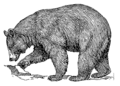 Black bear (PSF).png