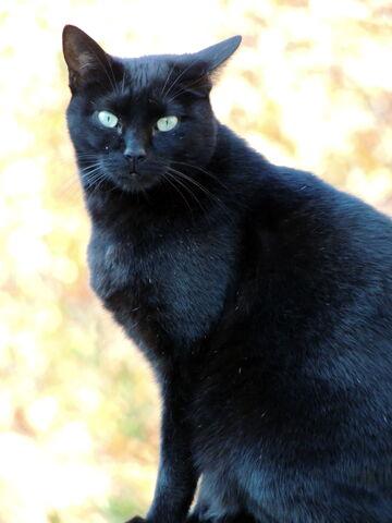 File:My black cat by bluteisen-d5l1opq.jpg
