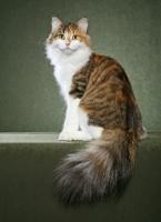File:Meadow clan cat leader.jpg