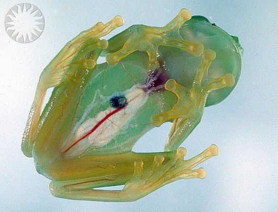 File:Glass frog.jpg