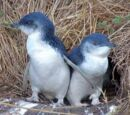 Blue (Little) Penguin