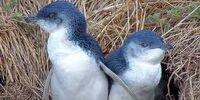 Blue (Little) Penguin