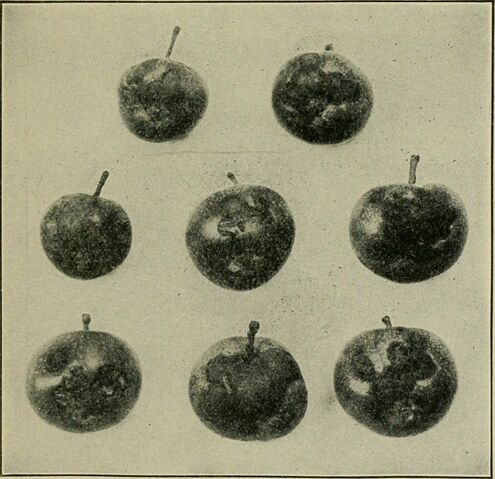 File:Image from page 211 of ''Fruits, vegetables and flowers, a non-technical manual for their culture'' (1918).jpg
