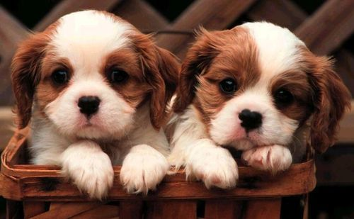 File:Puppies-2a5s8vn.jpg