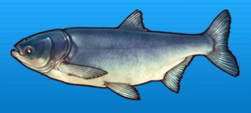 File:Bighead carp.png