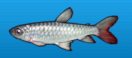 File:Pink tail characin.png