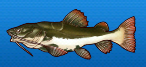 File:Redtail catfish.png
