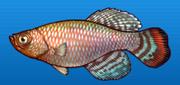 Bluefin notho