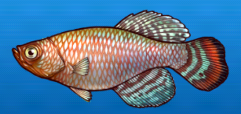 File:Bluefin notho.png